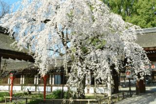 京都・北野「平野神社」の見どころ|江戸時代から伝わる桜の名所イメージ>