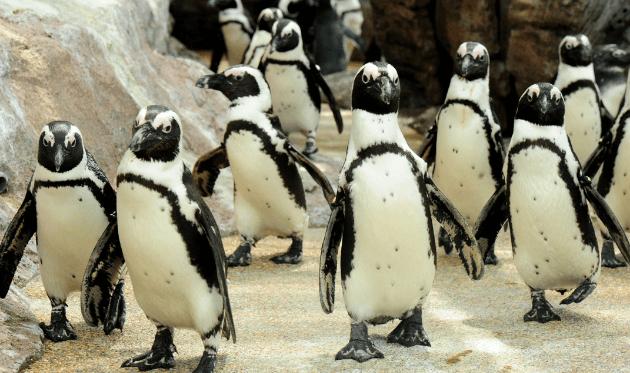 京都水族館 ケープペンギン